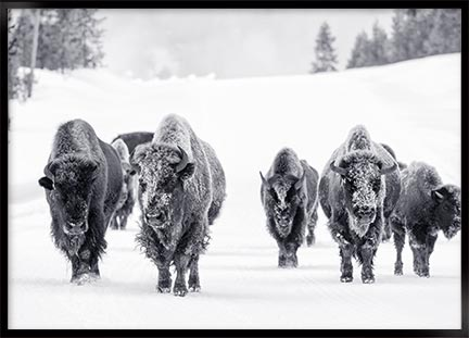 Poster - Bison group