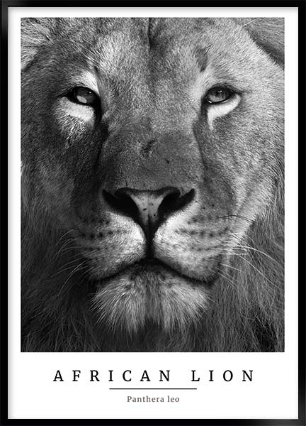 Poster - African lion