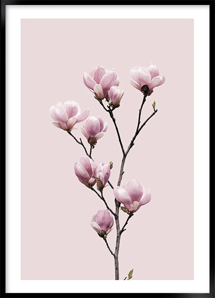 Poster Pink magnolia no1 - Flowers