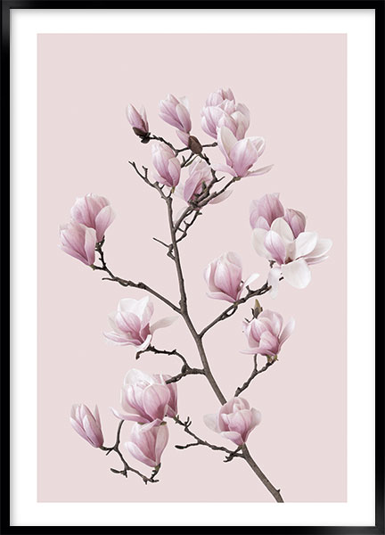 Poster Pink magnolia no2 - Flowers