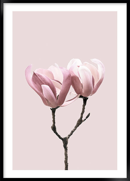 Poster Pink magnolia no4 - Flowers